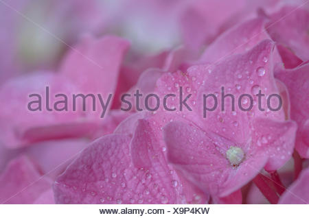 Close-Up Of Wet Hydrangeas Blooming In Park - Stock Photo