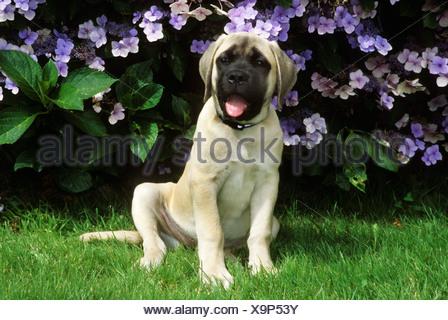Portrait of English Mastiff dog - Stock Photo