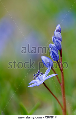 twin-leaf squill (Scilla bifolia), inflorescence with flower buds, Germany, Baden-Wuerttemberg, Neckar Valley - Stock Photo