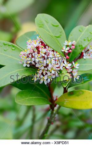 Japanese Skimmia (Skimmia japonica) flowers, native to in Japan, Korea and China, ornamental plant, North Rhine-Westphalia - Stock Photo
