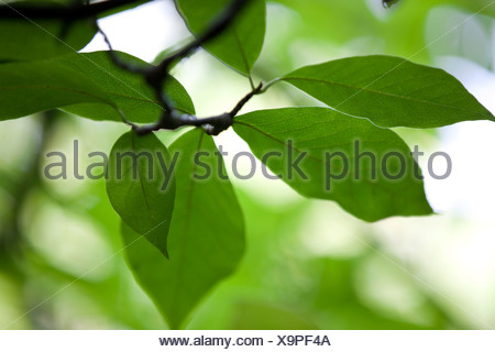 Close-up of leaves on a Magnolia tree - Stock Photo