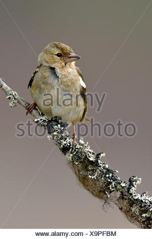 Common chaffinch (Fringilla coelebs), female sitting on branch, Hedmark, Norway - Stock Photo