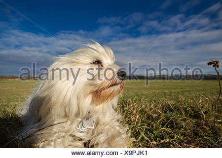 Ein Havaneser liegt in der Wiese und wird von einer stürmischen Brise angeblasen  und Blickt in die Ferne. Im Hintergrund ein schöner blauer Himmel mit ein paar Wolken. - Stock Photo