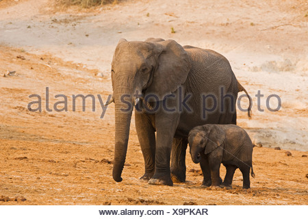 Africa, Botswana, African Elephant (Loxodonta africana) mother and calf - Stock Photo