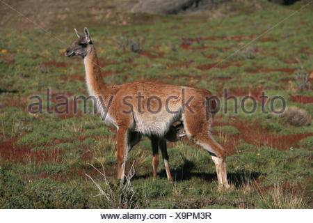 guanaco (Lama guanicoe), newborn suckling, Chile, Torres del Paine National Park - Stock Photo
