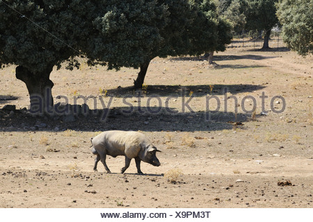 Domestic Pig boar walking degraded dehesa habitat since fighting bulls demand lowered breeders moved pig breeding devastating - Stock Photo