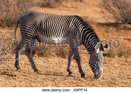Grévy's zebra (Equus grevyi), grazing, Samburu National Reserve, Kenya - Stock Photo