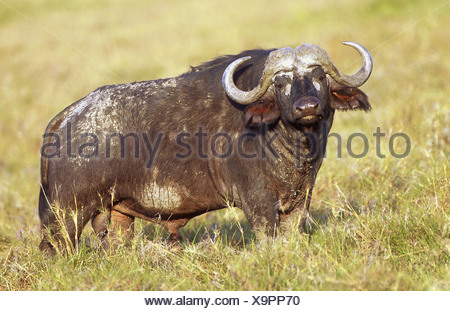 syncerus caffer / African buffalo - Stock Photo