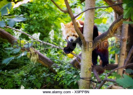 Red Panda On Branch Of Tree - Stock Photo