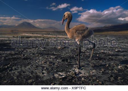 Lesser flamingo {Phoeniconaias minor} solitary chick on lake shore with no water, Lake Nakuru NP, Kenya - Stock Photo