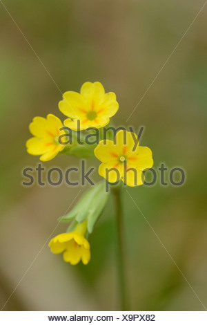 Common cowslip (Primula veris) - Stock Photo