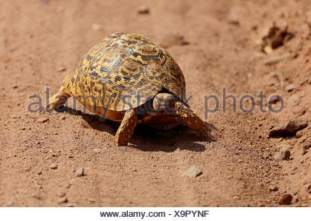 leopard tortoise, Lake Manyara NP, Tanzania, Africa (Testudo pardalis) - Stock Photo