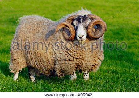 Scottish Blackface Sheep, male, domestic sheep - Stock Photo