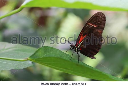 small postman,heliconius melpomene - Stock Photo