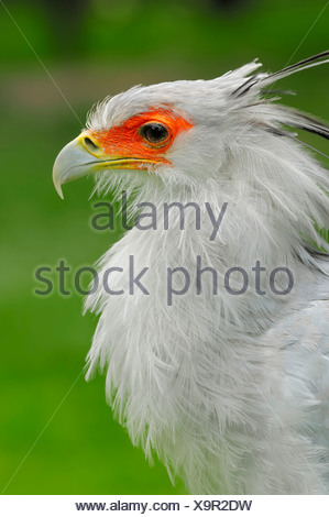 Secretary (Sagittarius serpentarius), portrait, captive, Netherlands, Europe - Stock Photo