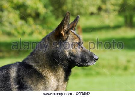 shepherd portrait - Stock Photo