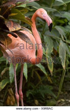 American flamingo (Phoenicopterus ruber) in artifical jungle habitat. Victoria Butterfly Garden, Victoria, BC, Canada - Stock Photo