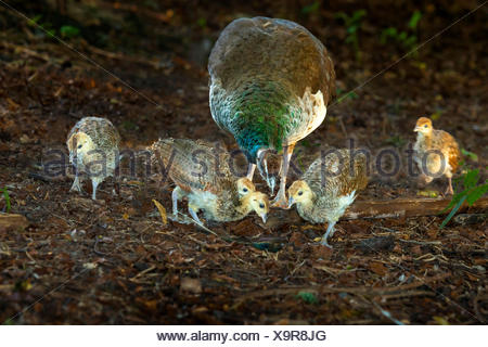 Common peafowl, Indian peafowl, blue peafowl (Pavo cristatus), peahen with four chicks searching food, Germany, North Rhine-Westphalia