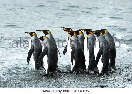 King penguins (Aptenodytes patagonicus)in Fortuna Bay; South Georgia, South Georgia and the South Sandwich Islands, United Kingdom - Stock Photo