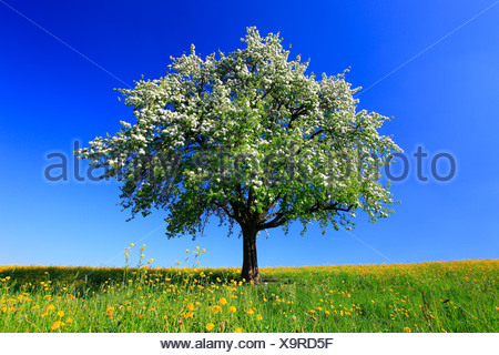 Apple tree malus domestica aplle tree in autumn for Domestica in svizzera