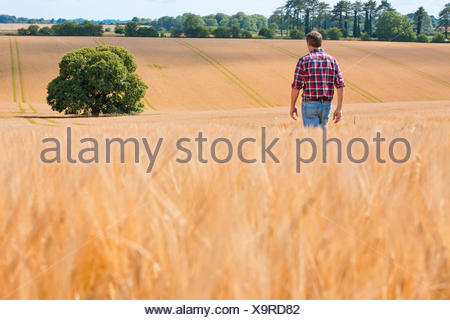Farmer walking in sunny rural barley crop field in summer - Stock Photo
