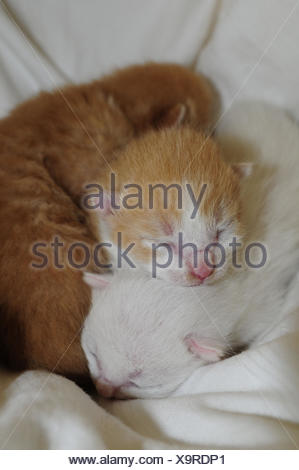 Three days old kitten with closed eyes in whelping box - Stock Photo