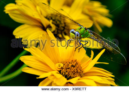 Dragonfly sitting on yellow flower - Stock Photo