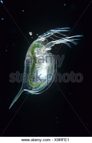 Water flea Daphnia magna neonate - Stock Photo