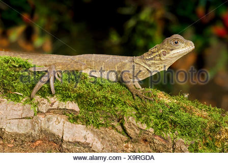 Weber's sail-fin lizard, Webers sail-fin dragon, green sail-fin dragon, soa soa (Hydrosaurus weberi), on a mossy branch - Stock Photo