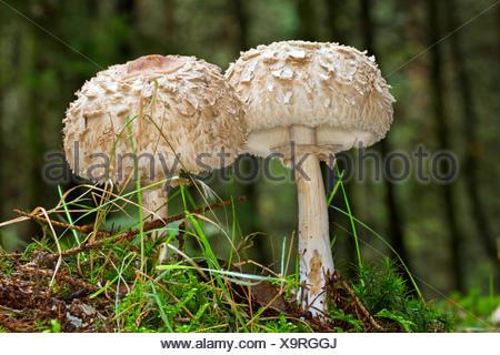 Shaggy parasol (Chlorophyllum rachodes, Macrolepiota rachodes, Chlorophyllum racodes, Macrolepiota racodes), two fruiting bodies in moss on forest floor, Germany, Mecklenburg-Western Pomerania, Farenholzer Holz - Stock Photo