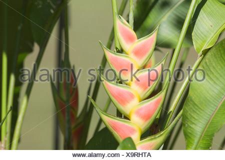 Wild plantain (Heliconia wagneriana). - Stock Photo