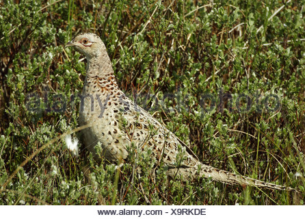 zoology / animals, avian / bird, Phasianidae, Common Pheasant (Phasianus colchicus), female animal in meadow, Amrum, Germany, distribution: Asia, Europe, Additional-Rights-Clearance-Info-Not-Available - Stock Photo