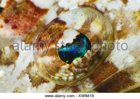 Eye of a crocodile fish. - Stock Photo