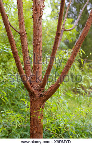 paperbark maple (Acer griseum), trunk, Germany, Kurpark - Stock Photo