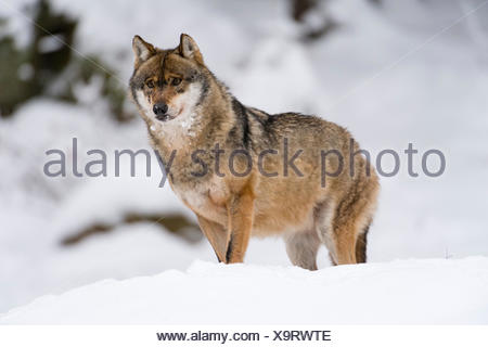 Gray wolf (Canis lupus), Bavarian Forest National Park, Bavaria, Germany - Stock Photo