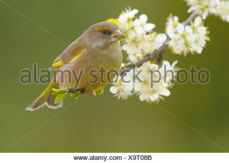 Female Greenfinch perched on end of a blooming branch. Vrouw Groenling zittend op einde van een bloeiende tak - Stock Photo