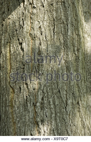 northern red oak, quercus rubra - Stock Photo