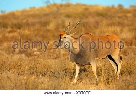Common eland, Southern Eland (Taurotragus oryx, Tragelaphus oryx), male walking in the desert, South Africa, Kgalagadi Transfrontier National Park - Stock Photo