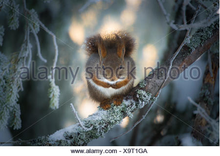 Red Squirrel sitting on branch in snow, Oppland, Norway - Stock Photo