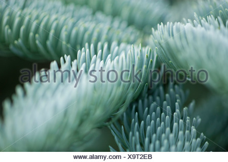 Pine. Abies procera 'Glauca prostrata' - Stock Photo
