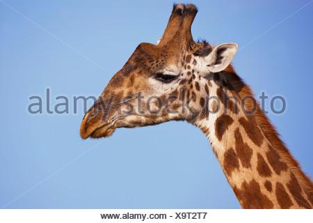 Giraffe (Giraffa camelopardalis), portrait, Serengeti, Tanzania - Stock Photo