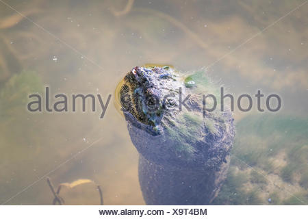 Snapping Turtle (Chelydra serpentina) with nose protruding from water in the Pinery Provincial Park, Ontario, Canada - Stock Photo