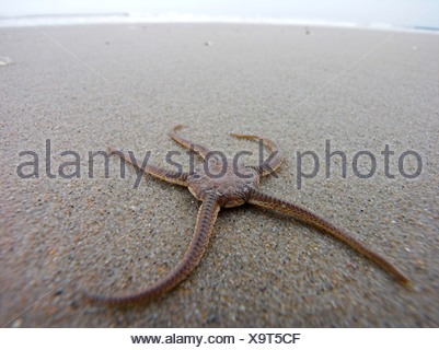 brittle stars, serpent stars; basket stars (Gorgonocephalus, Astrophyton) (Ophiuroidea), lying at a beach - Stock Photo