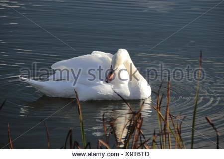 Close-Up Of Duck In Pond - Stock Photo