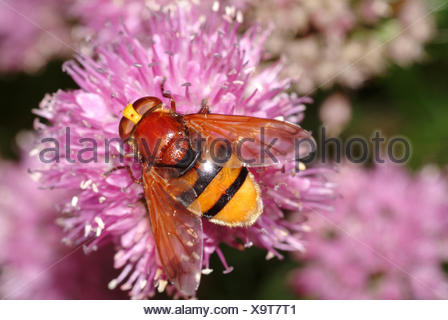 Hornet mimic hoverfly (Volucella zonaria), sitting on a blossom, Germany - Stock Photo