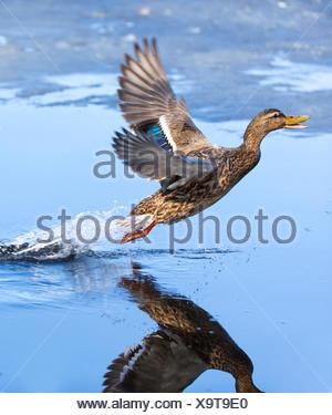 mallard (Anas platyrhynchos), female takes off, Norway, Troms - Stock Photo