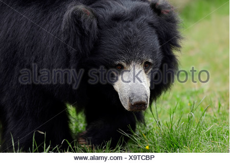 Sloth Bear or Stickney Bear (Melursus ursinus, Ursus ursinus), native to South Asia, captive, Germany - Stock Photo