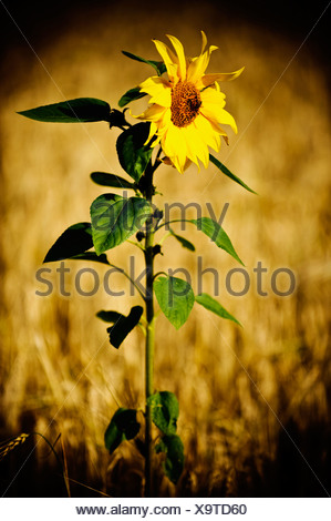 Lonely sunflower in a field - Stock Photo