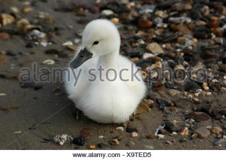 waters bird rhine swan birds soft beak offspring feathering waterfowls - Stock Photo