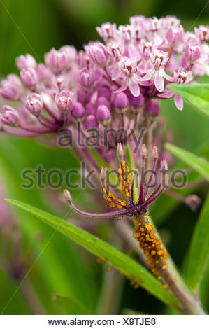 Sap-sucking Oleander aphids on a flower stalk of a swamp milkweed plant. - Stock Photo